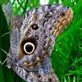Borboleta - olho- de - coruja