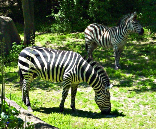 Zebras (photographed 05/30/09)