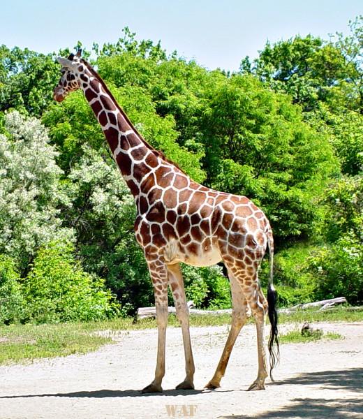 a Giraffe (photographed 05/30/09)