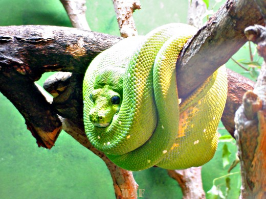 a green snake (photographed 05/30/09)