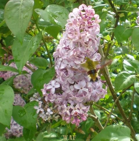 Uma Abelha na Flor de Lilás