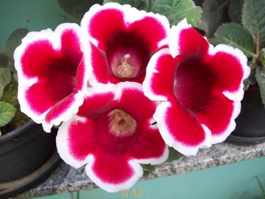 Flores natalinas ano 2008