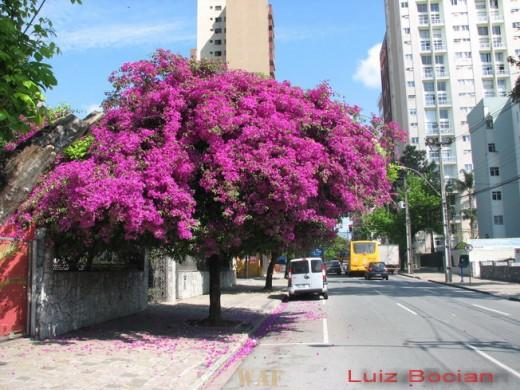 Arvore florida em Curitiba!