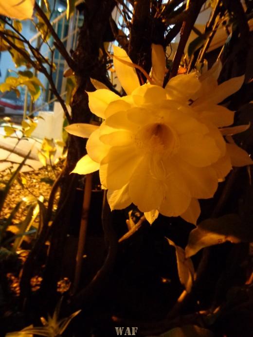 """Flores popularmente chamadas de """"Damas da Noite"""""""