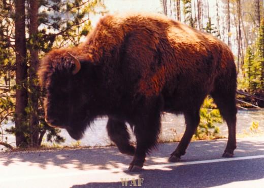 Wyoming Bison walking down the street