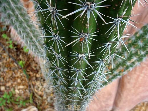 Cactus at Three Domes (Wisconsin)