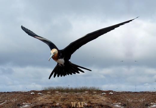 Great Frigate bird in flight