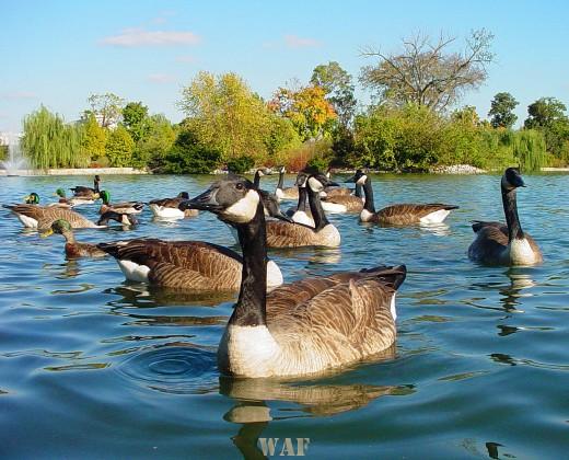 Ducks on the water in Nashville TN 10/28/05