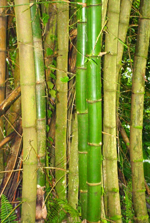 Bamboo in el Yunque Tropical Rain Forest