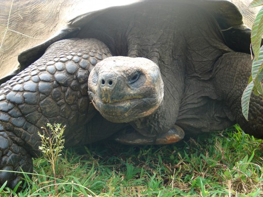 a Tortoise on the Galapagos Islands (the Highlands, at Santa Cruz Island 12/27/07)