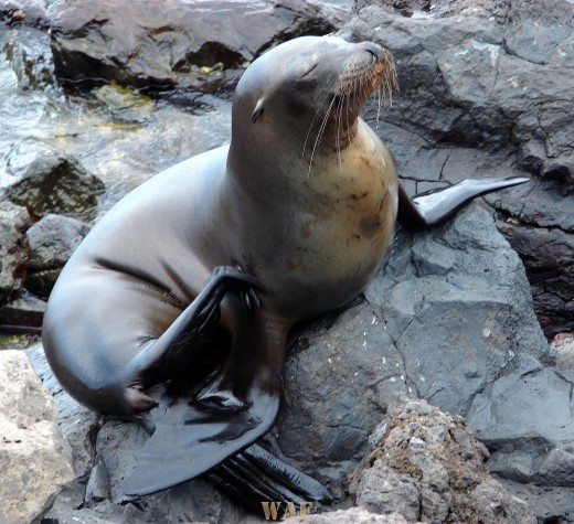 a Sea Lion on the Galapagos Islands (at Bachas Beach, at Baltra Island 12/24/07)