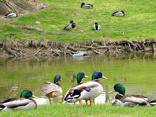 Mallards at the water (Heather Ridge, Gurnee IL) 04/17/05