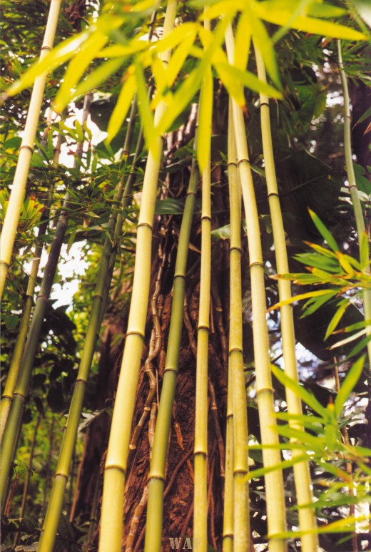 bamboo in an Oahu bamboo forest (2001)