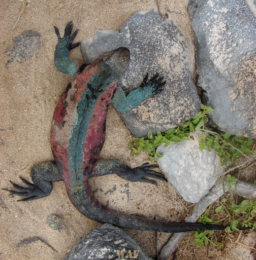 a Marine Iguana on the Galapagos Islands (Punta Suarez, at Espanola Island 12/25/07)