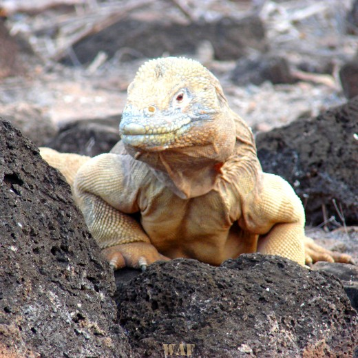 a Land Iguana on the Galapagos Islands (Santa Fe Island 12/24/07)