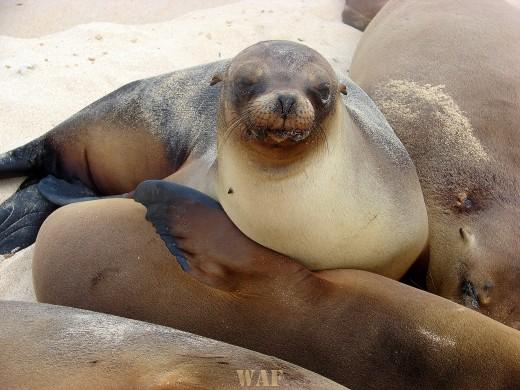 Sea Lions on the beach on the Galapagos Islands (Santa Fe Island 12/24/07)